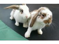 2 Male Mini Lop Rabbits