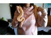 Female Albino Labyrinth Burmese Python