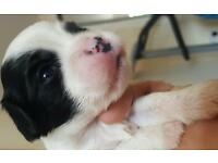 ***ONLY 2 LEFT*** Puppies (Pugalier x Lhasa Apso) Pugalier is King Charles x Pug