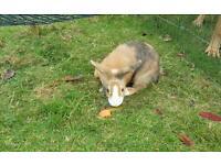 Baby dutch rabbit