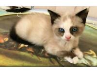 Ragdoll Cross girl kitten