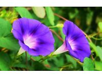 Morning Glory Seeds Pk of 10
