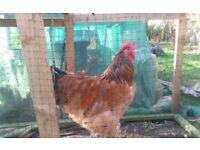 Buff Sussex Cockerel