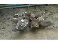 2 x Chocolate Muscovy female ducks