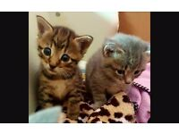 Kittens ragdoll cross redy to go