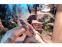 18month old male Bearded Dragon, large tank and accessories.