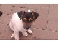 Jack Russell cross dash Hound puppies for sale