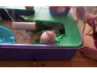 Beautiful baby male hamster and cage full set up