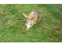 Baby dutch bunny