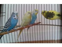 Four budgies for sale. Cage included . **ONLY £60**