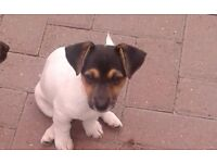 Jack Russell cross miniature dash Hound puppies for sale