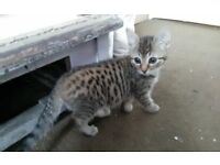 Kitten for sale, 11 weeks old, Brown tabby with black spots and stripes