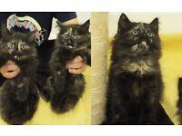 Persian Cross kittens 2 Girls rare girls very cute 8 weeks