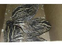 4x unsexed japanese quails for sale