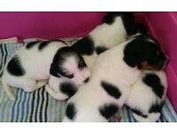 Jackrussel terrier puppies