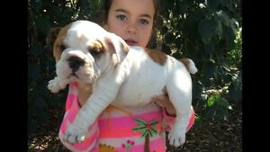 British bulldog puppy's Rosewood Ipswich City Preview