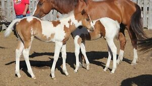 APHA Well Bred Foals