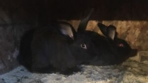 New Zealand Cross rabbits for sale