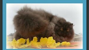 3 year old Grand Champion chocolate Persian gal looking for home