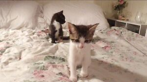 little kittens for sale Banyo Brisbane North East Preview
