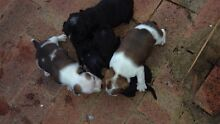 Pure breed staffy puppies for SALE Yangebup Cockburn Area Preview
