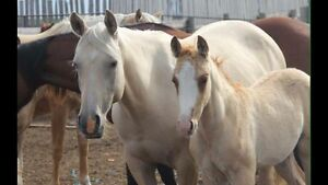 AQHA Palomino Mare in foal to Son of Metallic Cat