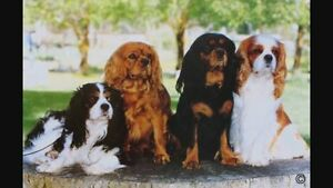 WANTED: beagle, beaglier or cavalier Red Hill Brisbane North West Preview
