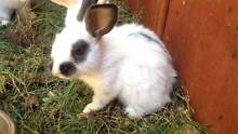 Mixed breed rabbits for sale Noranda Bayswater Area Preview