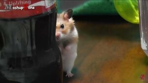 Looking for a hamster