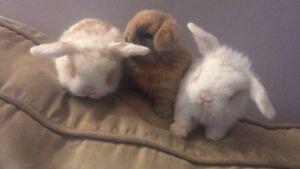 Holland lop baby bunnies BLUE EYES