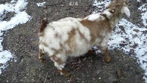 Goat Kid for Sale
