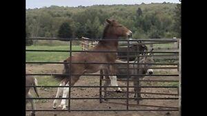 Mini Mule for Sale