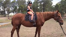 Chestnut Thoroughbred mare Pheasants Nest Wollondilly Area Preview