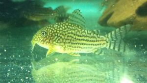 Corydora Sterbai For Sale - Pick Up Epping Epping Ryde Area Preview
