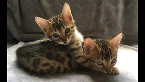 Mignons Petits Chatons Savannah/Bengal