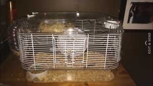 Russian Female Hamster for sale