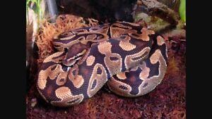 Python Royal jeune