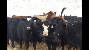 Bred Cow & Heifer Sale @ Whitewood Livestock Sales