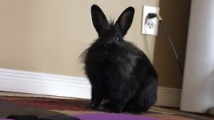Male Lionhead Bunny For His Forever Home