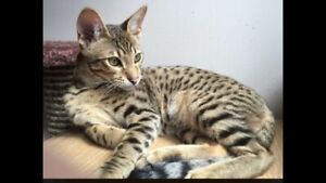 Missing savannah cat