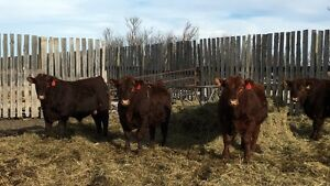 Purebred Red Angus Bulls for Sale
