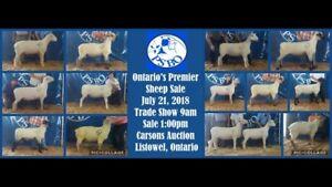 Purebred Sheep - Rams and Ewes