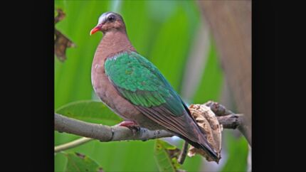 Green wing pigeon, emerald dove Liverpool Liverpool Area Preview