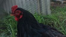 Indian Game Rooster Ouse Central Highlands Preview