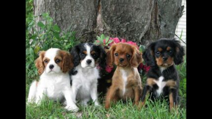 WANTED - CAVALIER KING CHARLES PUPPY Frankston Frankston Area Preview