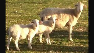 Cross breed sheep Mallala Mallala Area Preview