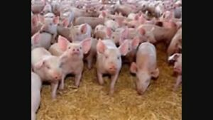 Feeder and weanling pigs