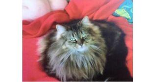 Missing female tortoise shell cat Moonee Ponds Moonee Valley Preview