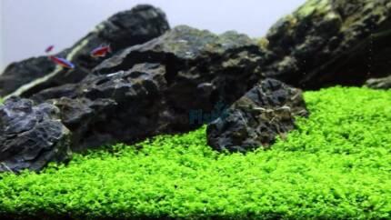 Monte Carlo Live Aquarium/Fish Tank Plant