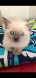 Male and Female blue eyes Ragdolls Kittens